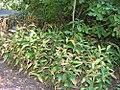 Maianthemum stellatum 1zz.jpg