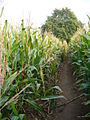 Maize Ripening - geograph.org.uk - 579127.jpg