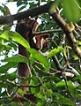 Malabar Giant Squirrel (2320599796).jpg