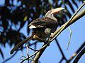 Malabar Grey Hornbill DSCN8033.jpg