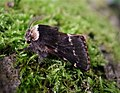Male December Moth. Poecilocampa populi (37676238715).jpg