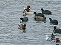 Mallard (Anas platyrhynchos), Gadwall (Anas strepera) & Red-crested Pochard (Netta rufina) (38880751664).jpg