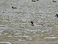 Mallard (Anas platyrhynchos) (45336897275).jpg