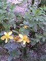 Malpighiales - Hypericum perforatum 2 - 2011.08.23.jpg