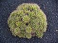Mammillaria longimamma 001.JPG