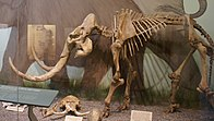 Small mammoth skeleton