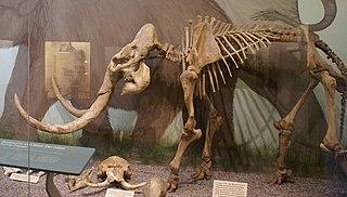 Pygmy mammoth species of mammal (fossil)