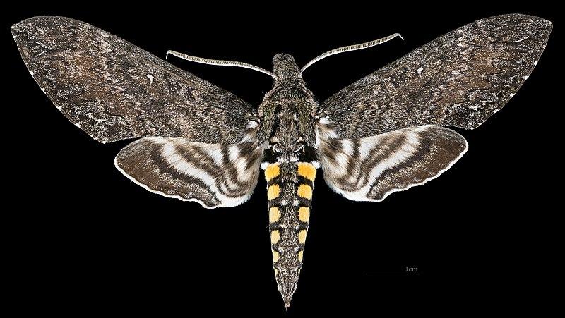 Il controllo della temperatura nei lepidotteri in pre-volo
