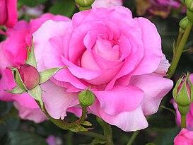 розы чайно гибридные сорта фото
