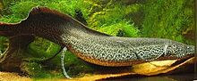 Marbled lungfish 2.jpg
