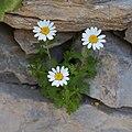Marguerite-Leucanthemum vulgare-Capitules-20150411.jpg