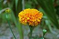 Marigold 20020400 1.jpg