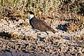 Masked Lapwing (Vanellus miles) (8079595771).jpg