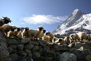 Matterhorn Sheep.jpg