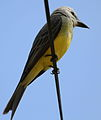 Maybe Tropical kingbird (Tyrannus melancholicus) - a flycatcher. (9591209603).jpg