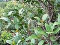 Maytenus oleoides - 5.JPG