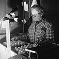 Medewerkster bezig met het schouwen van eieren, Bestanddeelnr 252-9078.jpg