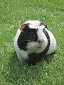 Meerschweinchen-Flecki-IMG 8009.jpg