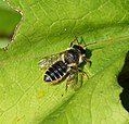 Megachile cetuncularis. Patchwork Leafcutter Bee. (35925670044).jpg