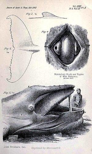 Tay Whale - Image: Megaptera Longimana 2