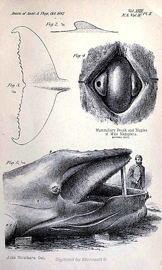 John Struthers (anatomist) - A drawing of a humpback whale  by Struthers, 1889