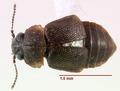 Megarthrus americanus 0172534 dorsal.tif