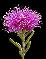 Melaleuca concinna - Flickr - Kevin Thiele.jpg