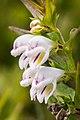 Melampyrum saxosum Rodnei.jpg