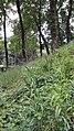 Melica altissima sl1.jpg
