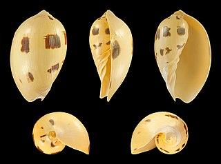 <i>Melo melo</i> species of mollusc