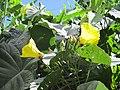 Merremia peltata flowers and fruits 1.jpg