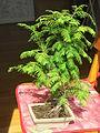 Metasequoia bonsai D150625.jpg