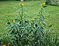 Mexican Milkweed Asclepias curassavica 'Silky Gold' Plants.jpg