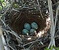 Mimus polyglottos eggs.jpg