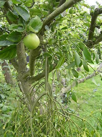 Mistletoe - Mistletoe in an apple tree