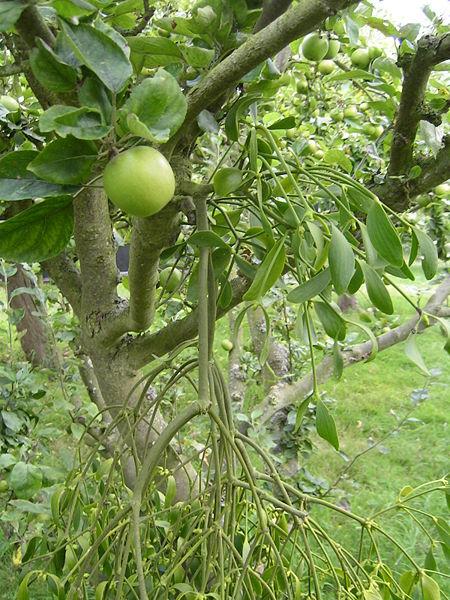 File:Mistletoe.jpg