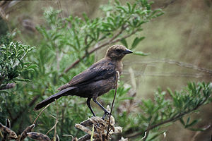 Cowbird - Female brown-headed cowbird