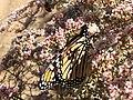 Monarch, Covington Flats 8552 RobbHannawacker.jpg