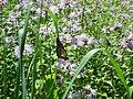 Monarch at Bauman Park.JPG