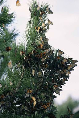 Monarch butterfly migration danus plexippus