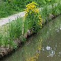 Monkeyflowers by the Oxford Canal, Warwickshire - geograph.org.uk - 1058216.jpg