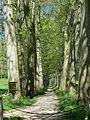 Montferrand (11) - Allée de platanes à Naurouze.jpg