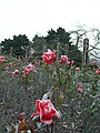 More Roses with Frost in Regent's Park, London.jpg