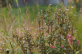 <i>Mosla</i> genus of plants