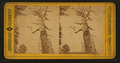 Mother of the Forest, Mariposa Grove, California, from Robert N. Dennis collection of stereoscopic views.png