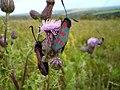 Moths - panoramio.jpg