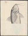 Mullus surmuletus - - Print - Iconographia Zoologica - Special Collections University of Amsterdam - UBA01 IZ13000317.tif