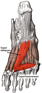 Musculus adductor hallucis.png