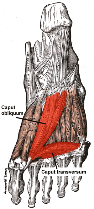 Adductor hallucis muscle - Muscles of the sole of the foot. Third layer. (Oblique head visible at center, and transverse head visible at bottom.