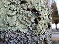 Musgo (moss) (28020659439).jpg
